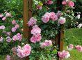 imagen Guía para cultivar rosas