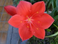 imagen Así son las coloridas flores de la Vallota