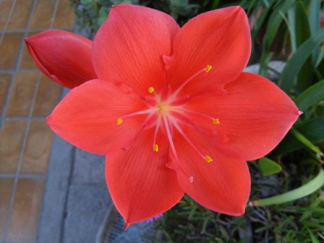 Asi son las coloridas flores de la Vallota
