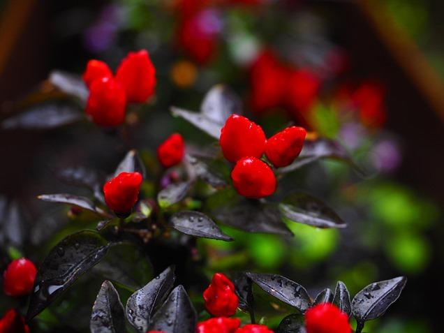 como cuidar del pimiento ornamental