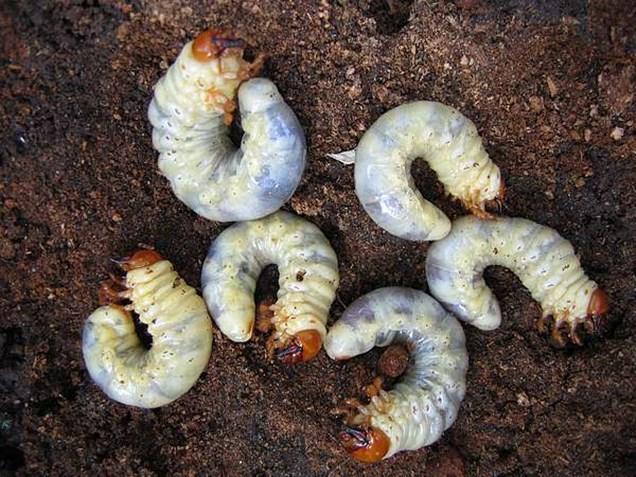 Como combatir los gusanos del cesped