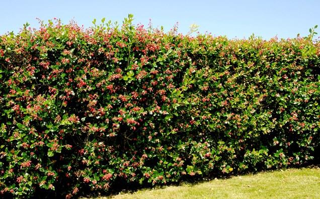 Descubre Los Mejores Arbustos Para Setos En Este Post