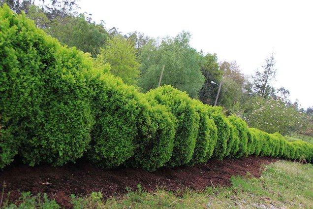 Descubre los mejores arbustos para setos en este post for Arbustos en jardines