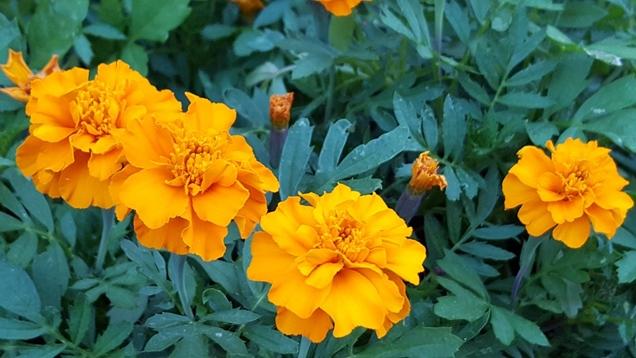 Clasificacion de las plantas de temporada y epocas de floracion1