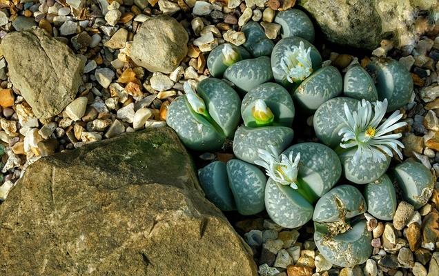 Como cuidar el Lithops (Piedras vivas)