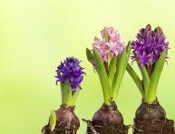 imagen Plantas bulbosas de primavera