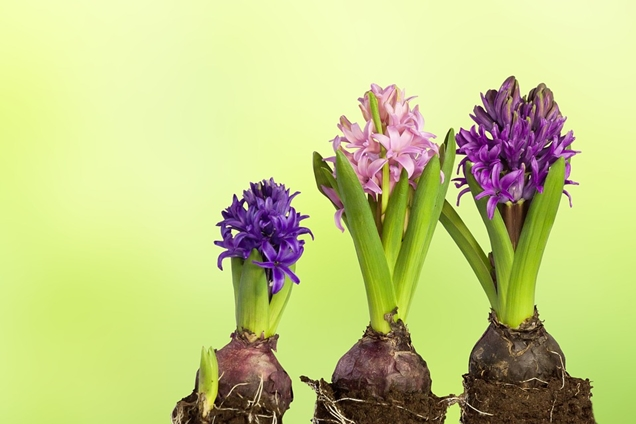 Plantas bulbosas de primavera