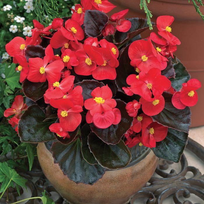 Begonia Caracteristicas y cuidados