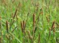 imagen Cuidado y reproducción de la Juncia, Carex o Paraguas