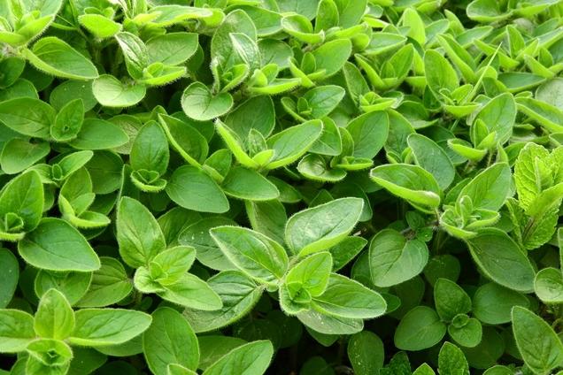 plantas aromáticas para tu jardín 4