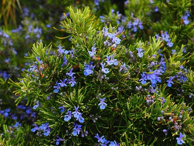 plantas aromáticas para tu jardín 7