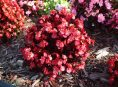 imagen 3 tipos de Begonia