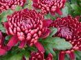 imagen Cómo sembrar y cuidar crisantemos