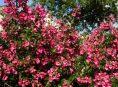 imagen La escallonia, un arbusto ideal para formar setos