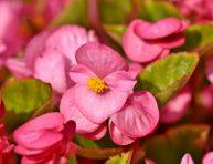 imagen Cuidados de la begonia o flor de azúcar