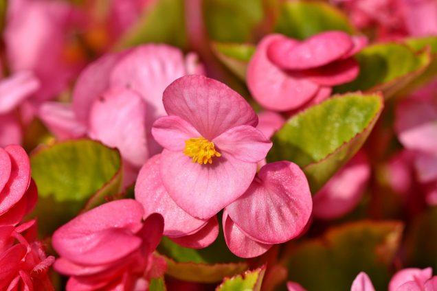 Cuidados de la begonia o flor de azúcar
