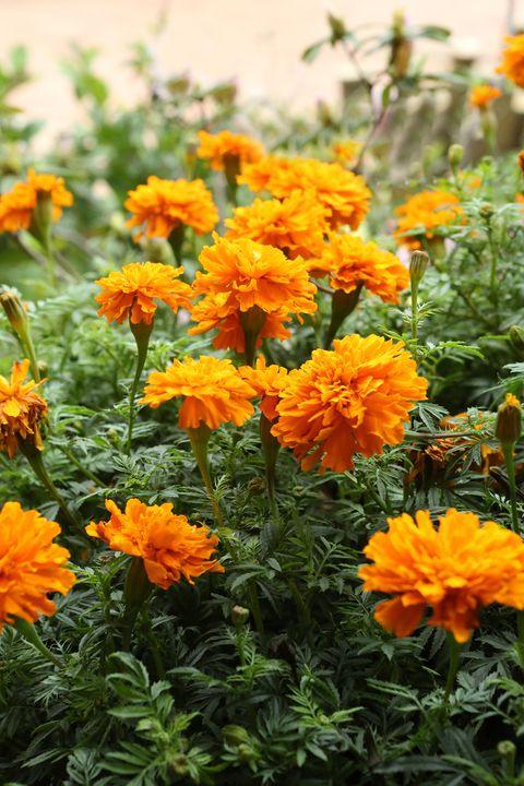 Las Mejores 15 Flores Anuales Para Tu Jard 237 N