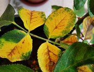 imagen ¿Por qué las plantas se vuelven amarillas?