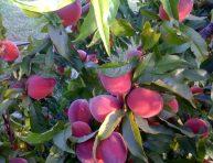 imagen Plantas frutales que puedes cultivar en maceta