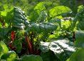 imagen Como cultivar acelgas en maceta