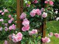 imagen Cuando plantar rosales trepadores