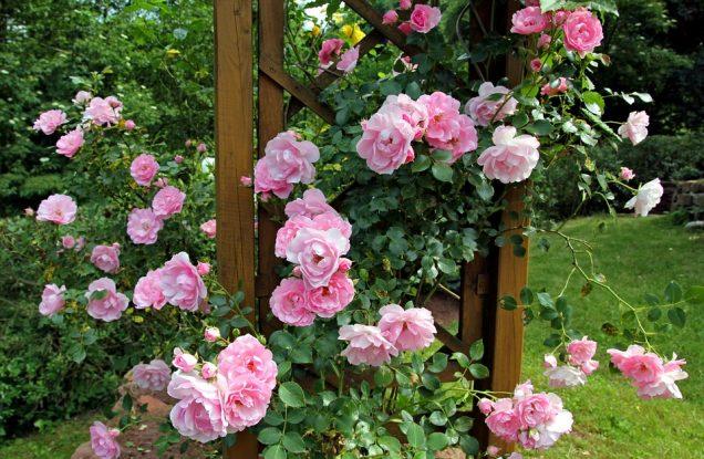 Cuando plantar rosales trepadores1