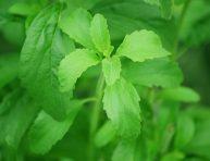 imagen Cuidados de la Stevia