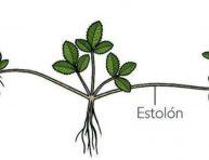 imagen Cuales son las plantas que se reproducen por estolones