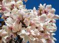 imagen Variedades de la magnolia