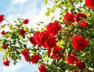 imagen Cómo cultivar el jardín de rosas de tus sueños