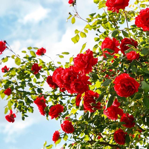 Cómo cultivar el jardín de rosas de tus sueños
