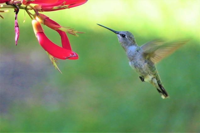 Los colibries aman estas flores y tu tambien lo haras