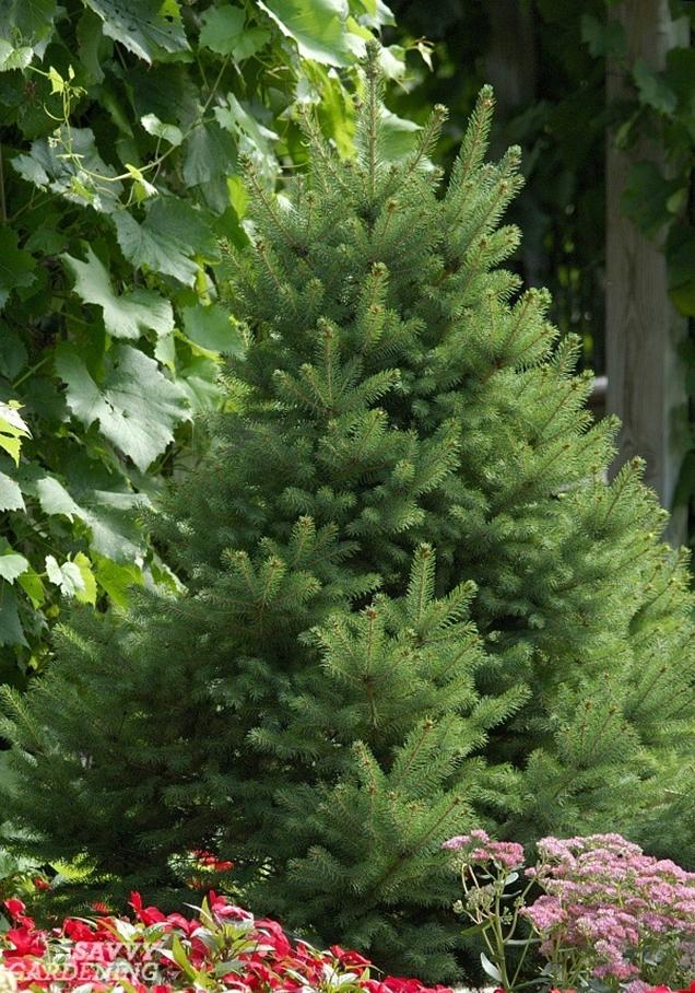 5 rboles de hoja perenne enanos para peque os jardines for Arboles de hoja perenne para clima frio