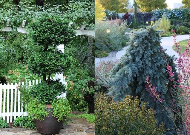 arboles de hoja perenne enanos para pequenos jardines