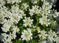 imagen 6 Opciones de plantas tapizantes siempre verdes