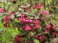imagen Arbustos coloridos para resaltar la belleza de tu patio o jardín