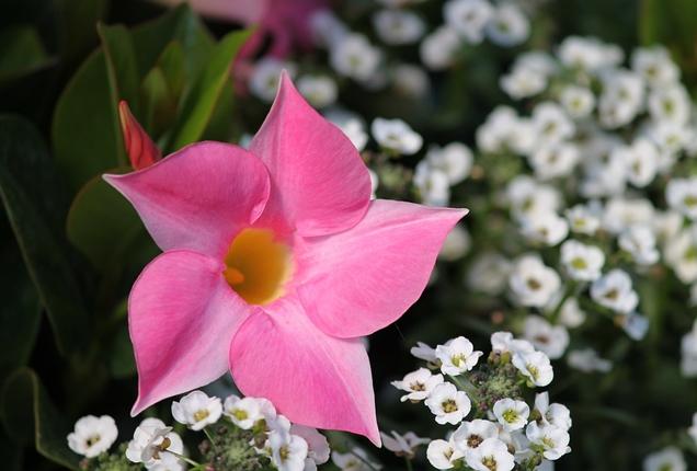 Anuales tolerantes al calor que florecen en verano