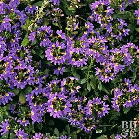 Anuales tolerantes al calor que florecen en verano1