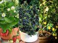 imagen Las mejores frutas para cultivar en macetas