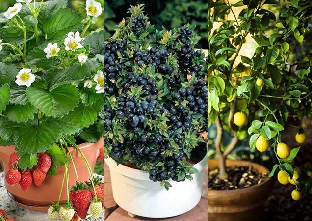 Las mejores frutas para cultivar en macetas