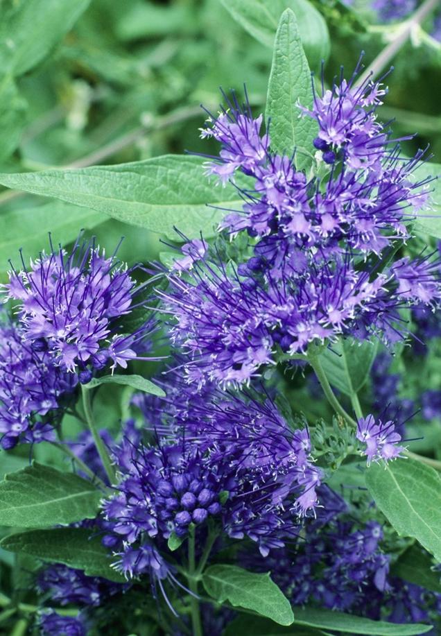 Los mejores arbustos en flor para tu jard n - Arbustos perennes con flor ...