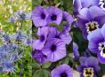 imagen 21 flores púrpuras para engalanar tu jardín