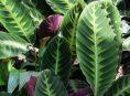 imagen Guía completa para el cultivo y cuidado de la calathea