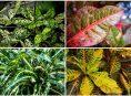 imagen Distintos tipos de plantas de Crotón