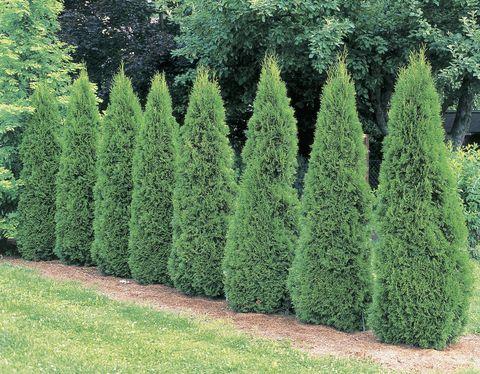 Rboles y arbustos de r pido crecimiento for Arboles perennes de crecimiento rapido