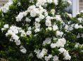 imagen Los 7 mejores arbustos fragantes y coloridos
