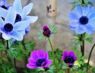imagen 9 datos sobre las anémonas que todo jardinero debería saber