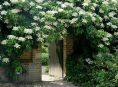 imagen Cómo cultivar una hortensia trepadora
