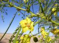 imagen Cómo cuidar y propagar la parkinsonia o espinillo amarillo