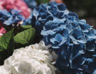 imagen 16 ideas de jardines de hortensias para inspirarte